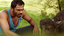 Balram Takes His Calf For Grazing